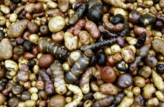 peru patatesleri 1
